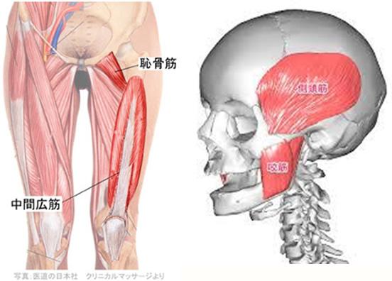 咬筋と側頭筋、内側翼突筋と外側翼突筋